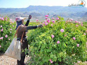 تقطير ماء الورد في مدينة كاشان