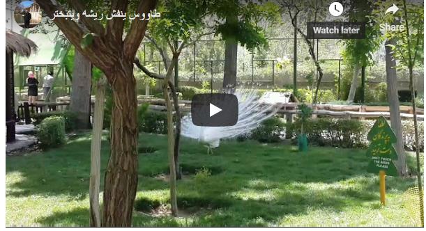 طاووس ينفش ريشه ويتبختر كاميرا خالد الركابي 2015