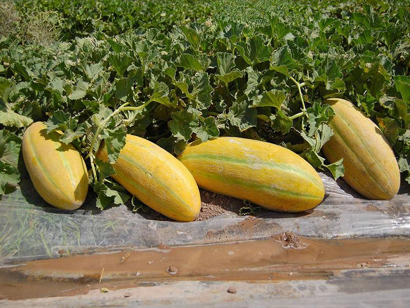 البطيخ الأصفر لتربت جام