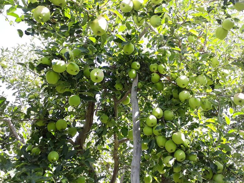 تفاح دماوند