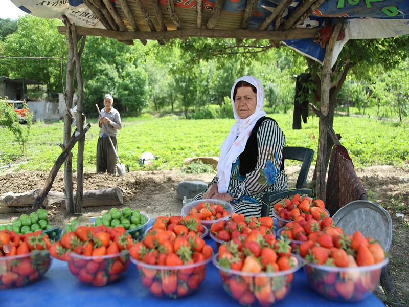 فراولة كردستان
