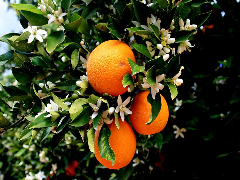 نارنج شيراز