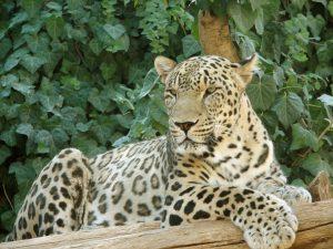 النمر الفارسي