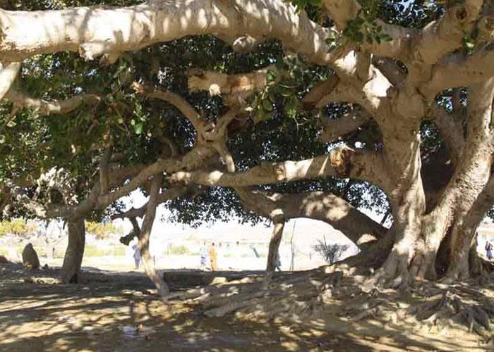 شجرة التين في معابد تشابهار